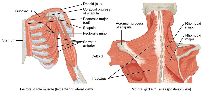 pectoral and rhomboid muscles used in pushups